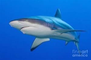 Gray Reef Shark, Kimbe Bay, Papua New Photograph by Steve