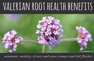 Valerian Root Health Benefits  Insomnia  Anxiety  Stress And Even Cramps And Hot Flashes