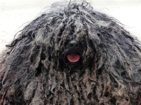 popular dog breeds  america  dog people