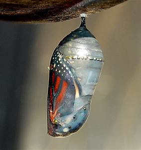 Cocoon - Butterfly - Monarch | One day this caterpiller ...