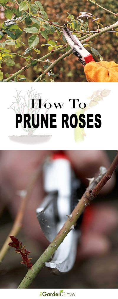how to prune roses 17 best images about home in my balcony n roof garden on pinterest bonsai trees container