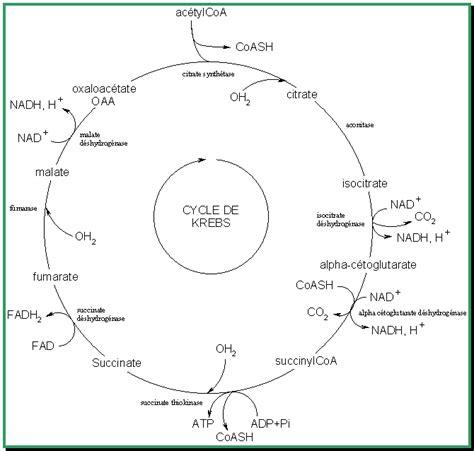 les principales voies du metabolisme wikilivres