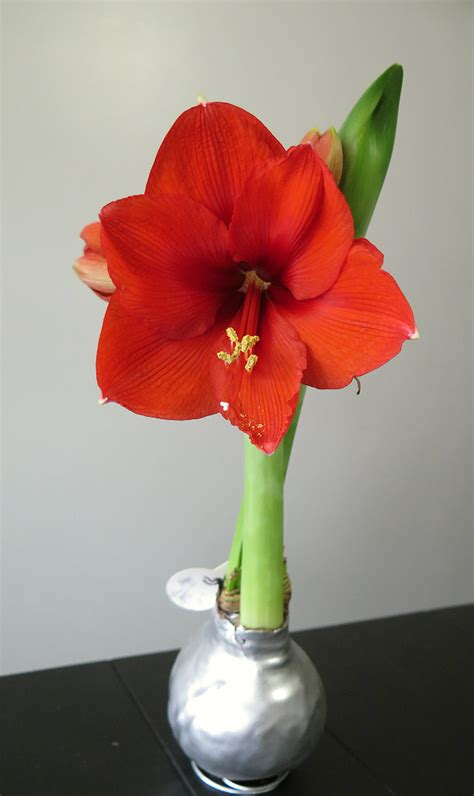 waxed amaryllis bulbs mrbrownthumb