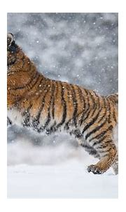 Tiger Is Playing On Snow Field With Snow Background HD ...