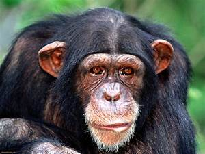 Chimpanzees Wallpapers   Fun Animals Wiki, Videos ...