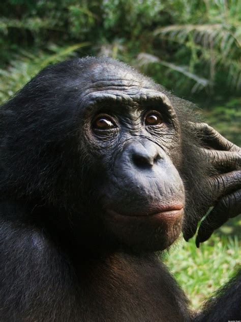 chimpanzee anger research shows humans arent