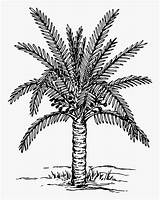 Palm Coloring Tree Trees Date Clipart Drawing Plants Pages Planting Painting Printable Colouring sketch template