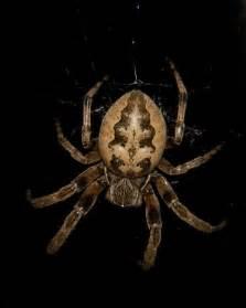 spider   north west ohio  central indiana larinioides cornutus bugguidenet