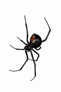 Black Widow Spider Art - Cliparts.co