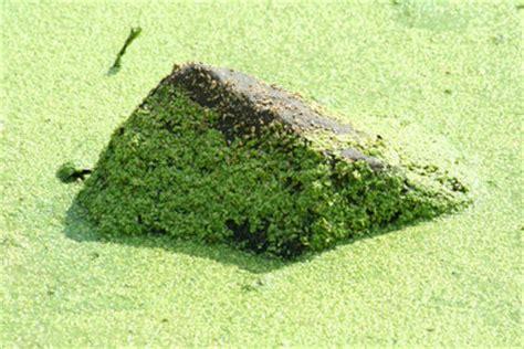 algen im teich vernichten algen im teich mit nat 252 rlichen mitteln bek 228 mpfen so geht s