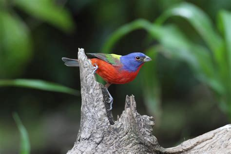 learn how to attract painted buntings