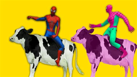 cow colors learn colors with spider with cows