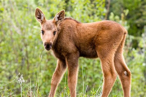 Cory-bagley-baby-moose-at-denali-visitor's-center