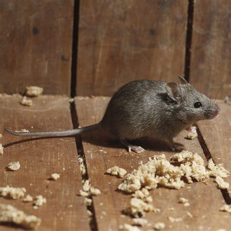 souris dans la maison comment se d 233 barrasser de souris dans la maison avie home