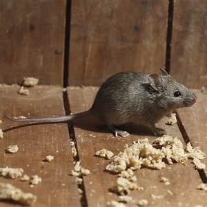 Comment Se Débarrasser Des Souris Dans Une Maison : extermination et traitement pour se d barrasser des souris dans la maison ~ Nature-et-papiers.com Idées de Décoration