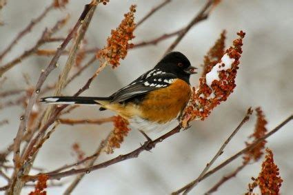 spotted towhee male photo  robinsegg salt lake city