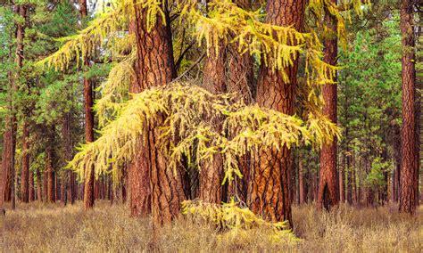 autumn woods larch trees ponderosa trees mike putnam