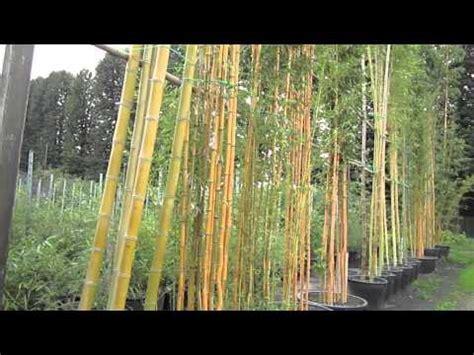 Bambù  Piante In Vaso Youtube