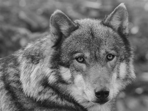 Black And White Animal Wallpaper - black and white wolf wallpaper wallpapersafari