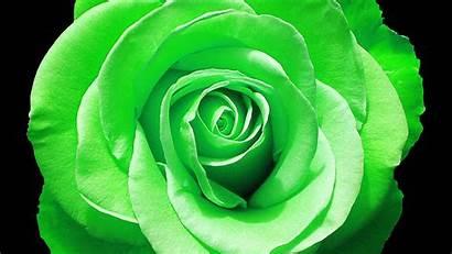 Rose Wallpapers Roses Flower Flowers Bloom Nu