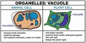 Vacuoles  U2014 Structure  U0026 Function