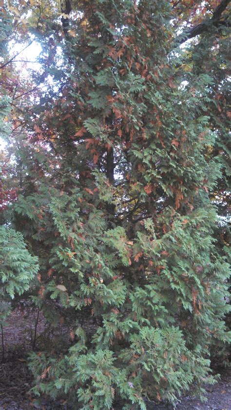 Shedding In Fall by Even Evergreen Needles Don T Last Forever Purdue