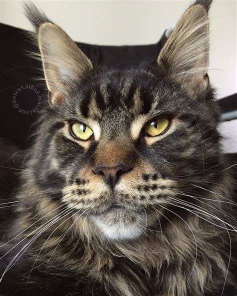 maine coon tabby mix black