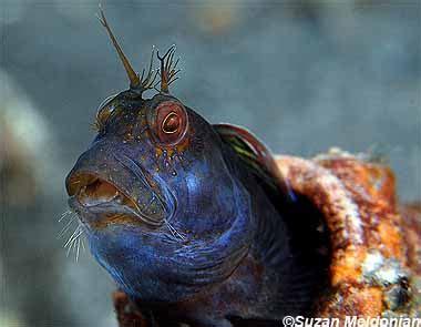 parablennius marmoreus discover fishes