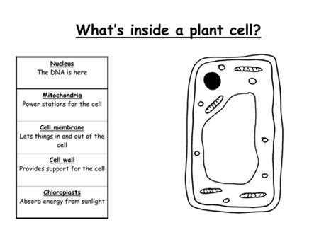plant cell drawing  labels