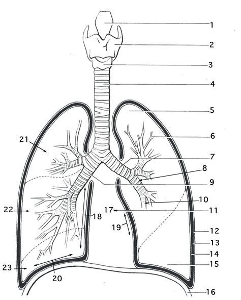 Diagram Lungs Human Anatomy Diagram Simple