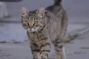 brown tabby cat brown tabby 3 by lakela on deviantart