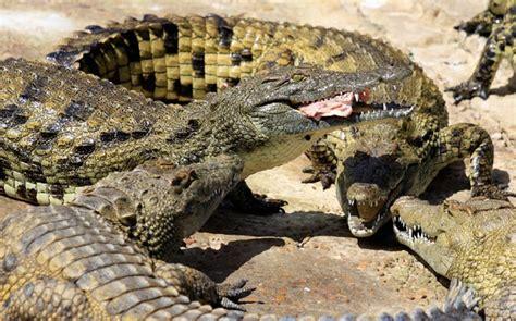 wildlife african nile crocodile fatcs