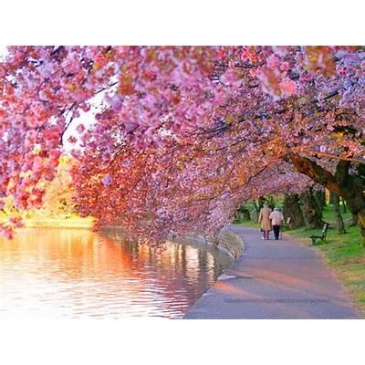 National Cherry Blossom FestivalWeekendGuideToFun.com