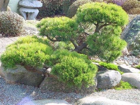 Japanischer Garten Kiefer by Kleinen Japanischen Garten Teich Search