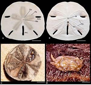 Mellita Quinquiesperforata And Dissodactylus Crinitichelis
