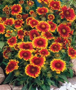 perennial flowers border sun shade perennial plants