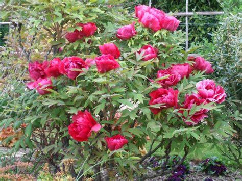 planter pivoine en pot tout sur les pivoines au jardin forum de jardinage