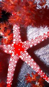 Red Starfish Wallpaper - Free iPhone Wallpapers