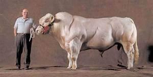 Belgian Blue Super Cow • Lazer Horse