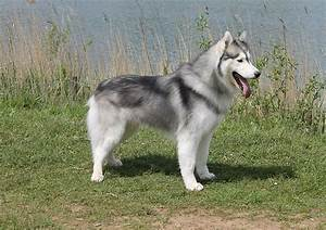 Grey Husky Dog | www.pixshark.com - Images Galleries With ...
