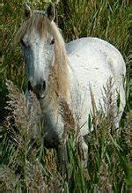 Camargue Pferd Wikipedia