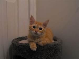 Turkish Angora Wikipedia The Free Encyclopedia |Angora Cat ...