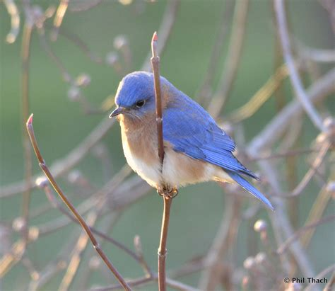cold bluebirds phil thach