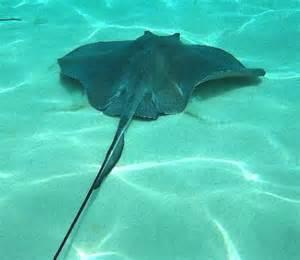 Manta Ray Fish Stingray