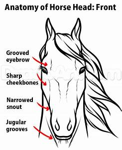 Horse Anatomy Drawing  Step By Step  Pets  Animals  Free