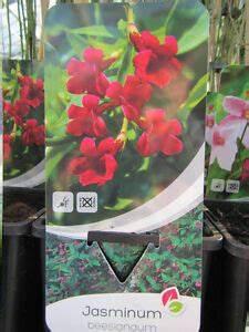 Jasmin Pflanze Winterhart : jasminum beesianum roter jasmin pflanze 60 80cm bis 15 c winterhart ebay ~ Frokenaadalensverden.com Haus und Dekorationen