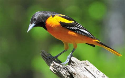 birds that live with varying weather sing more versatile