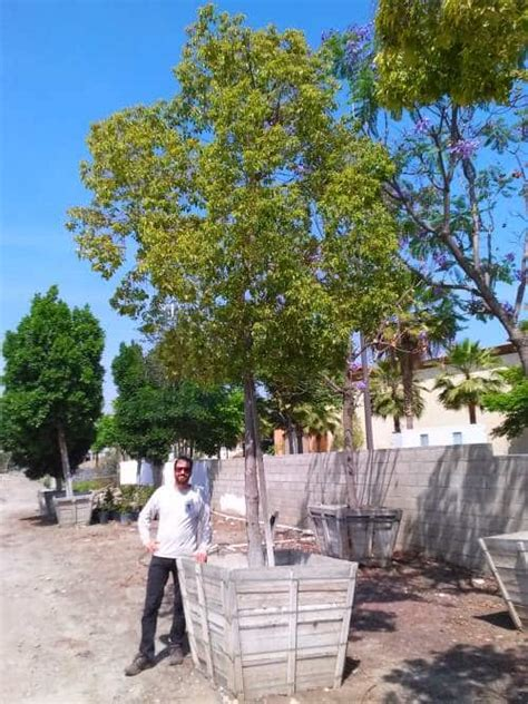 camphor trees garden view landscape nursery pools