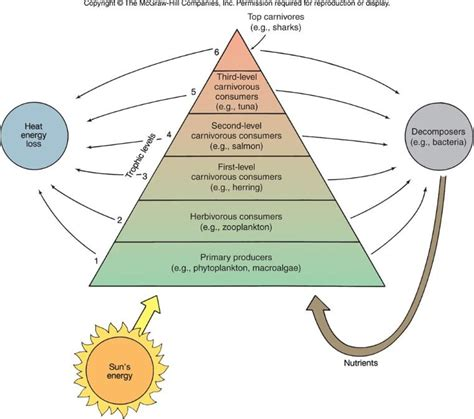 trophic pyramid biomass level levels consumers phytoplankton zooplankton 1st algae 3rd 2nd bsc final ch primary producers macro feeding stage