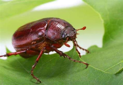 june beetle insect britannicacom